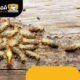 شركة مكافحة النمل الأبيض والبق